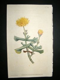 Curtis 1787 Hand Col Botanical Print. Hatchet-Leaved Fig Marigold #32,